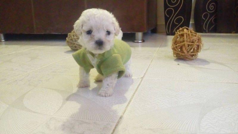 estafa-fraude-cachorros-mini-mexico