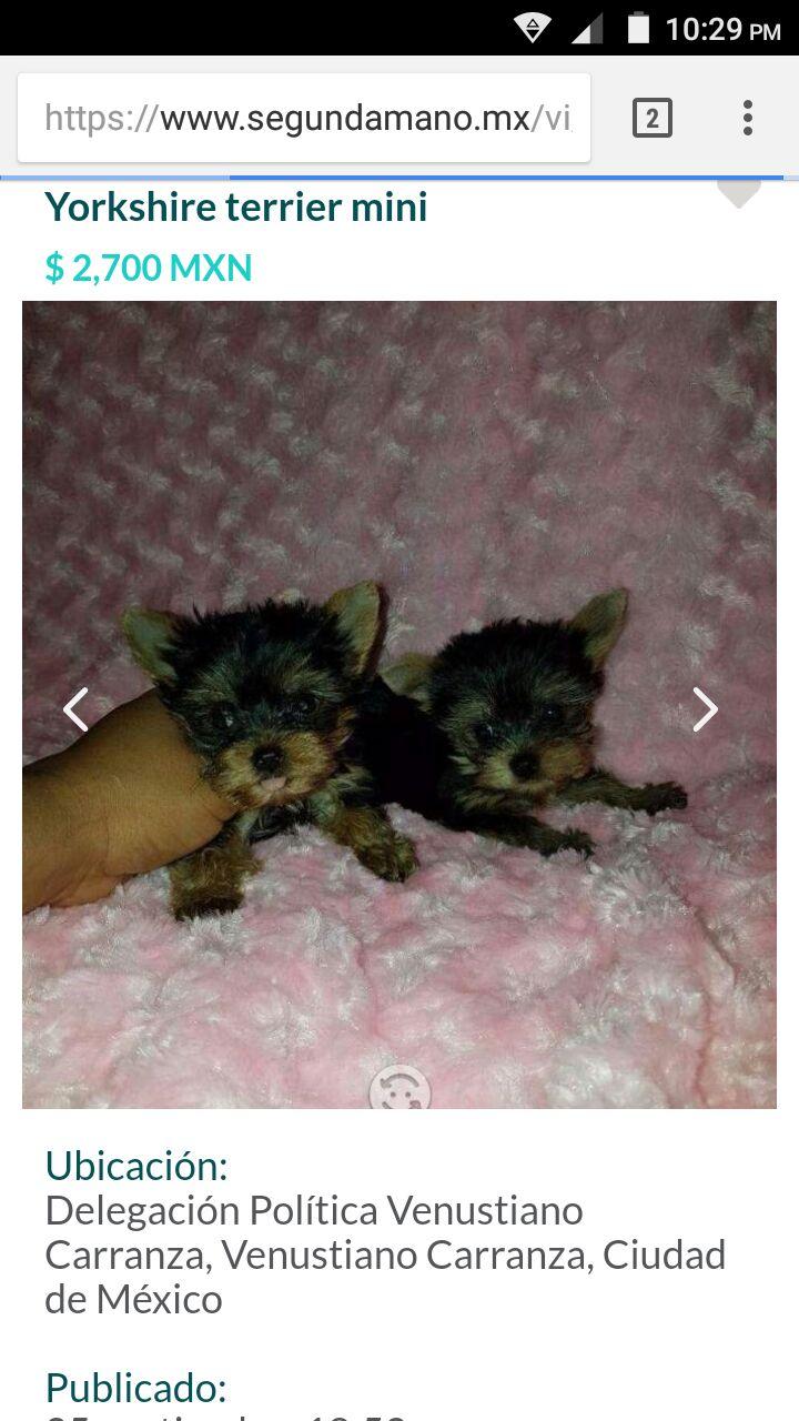 estafa-fraude-cachorros-mini-mexico-2